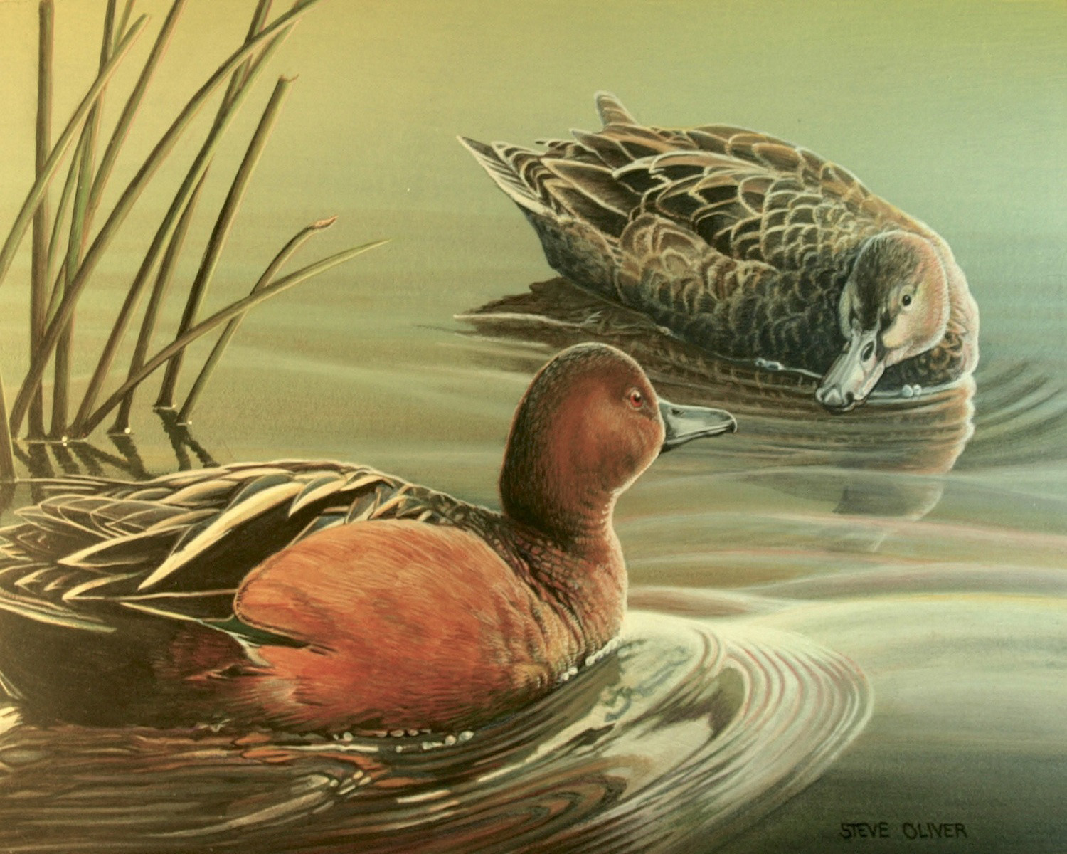 Pair of Cinnamon Teal - Steve Oliver