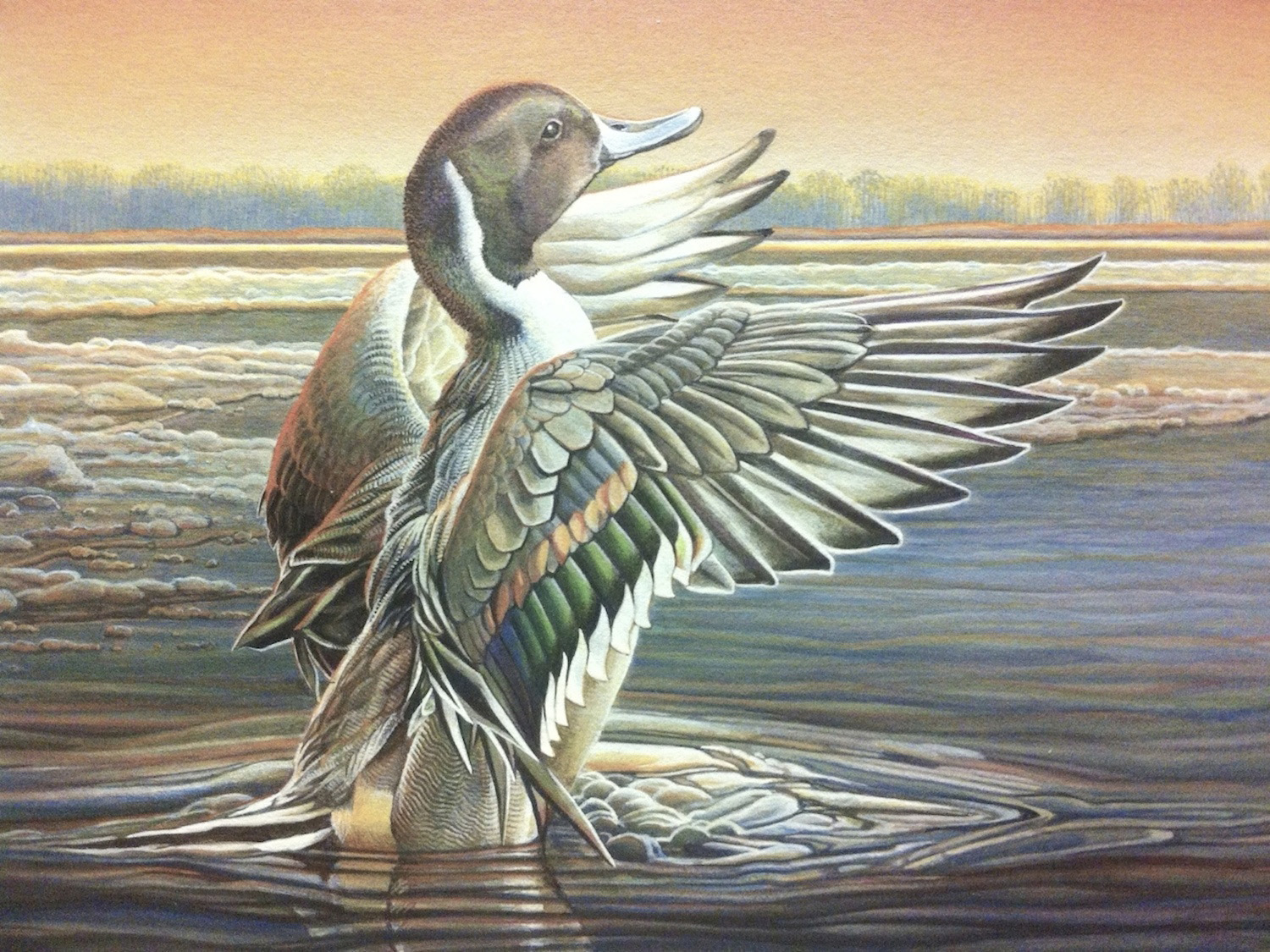 Stretching Pintail - Steve Oliver